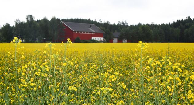 Rapsåker i Våler kommune. Foto: Inger-Lise Søland
